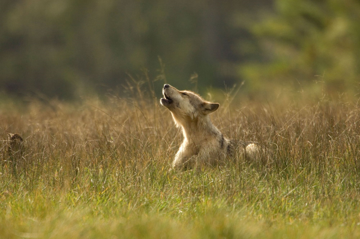 Tell Congress to Protect The Wolves