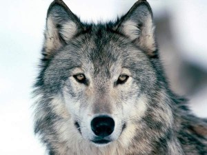 Get Oregon Wolves back on Endangered Species list