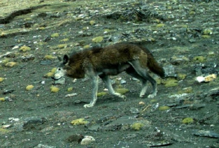 The Himalayan wolf