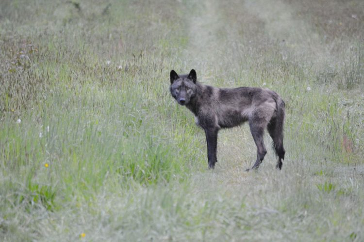 protect washington wolves, protect the wolves