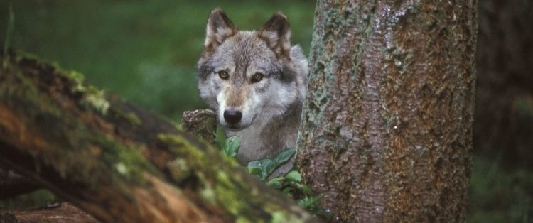 protect yellowstone wolves, sacred resource protection zone