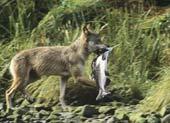 Wolves prefer Salmon