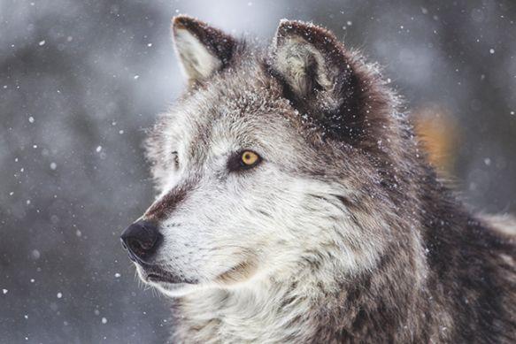 Ranchers have already asked Idaho... to kill elk also