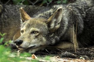 Help protect the red wolf