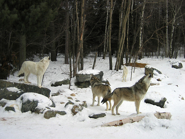 Wolves Protected again