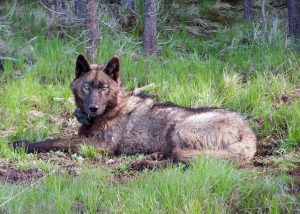 """""""2015 is poised to be among the most consequential years for Oregon's wolf recovery. A milestone is a way to mark your progress and then continue to move forward,"""" Klavins says. """"It's not where you do a touchdown dance, say 'mission accomplished' and turn back."""""""