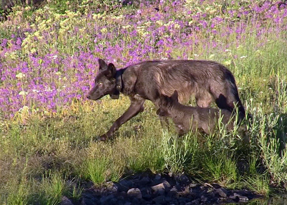 Oregon Wolves not recovered yet