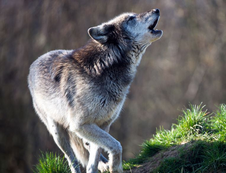 Native American Indian Wolf Legends Meaning And Symbolism From The