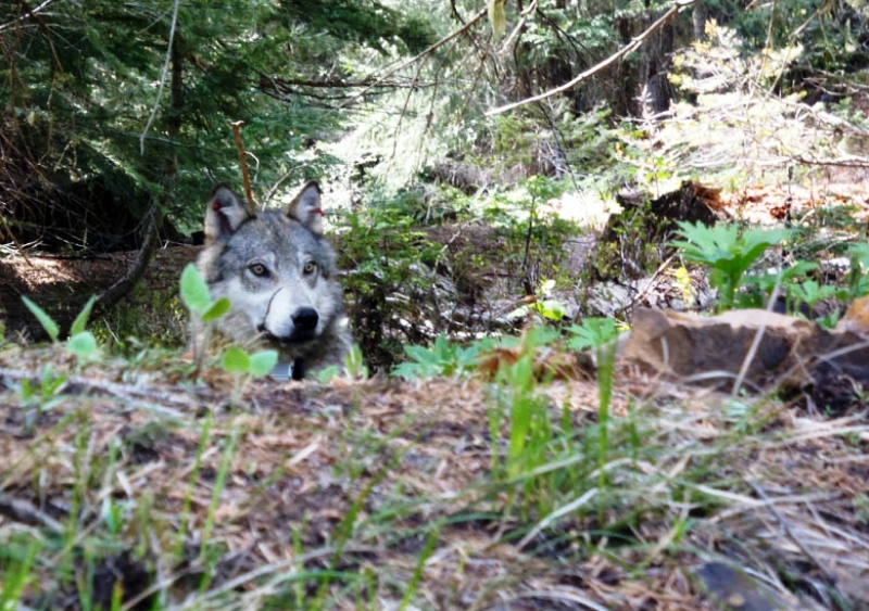 Oregon Wolves on the move