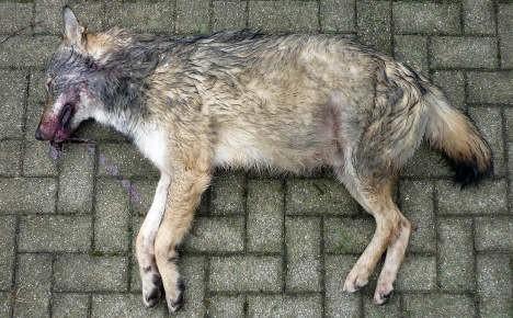 Dead german wolf