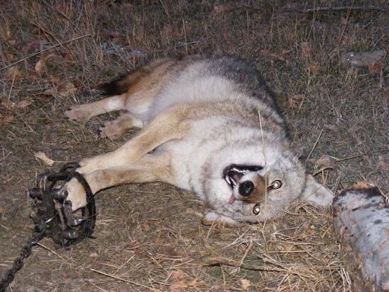 is canada goose dog fur