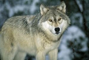 Protect Wolves on ESL