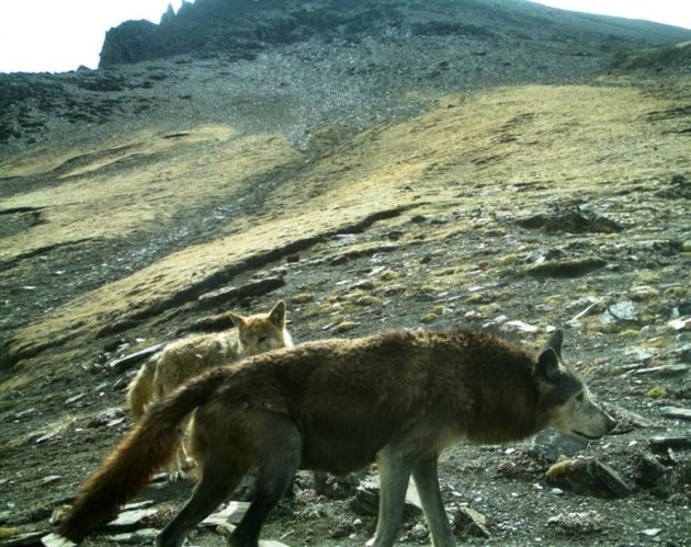Wolves in the news