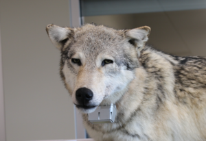 Wolf died with Dart