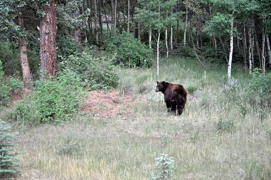Wounded Bear near West Yellowstone