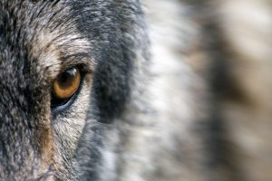 Help us Save Wolves in Washington