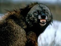Protect Idaho Wolves
