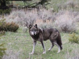 Protect Wolves in Colorado