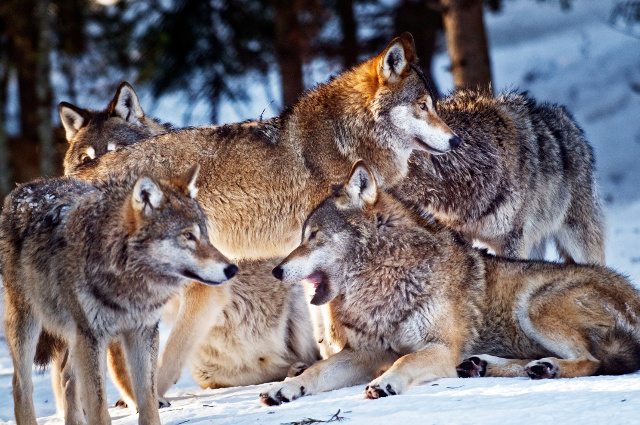 wolves, wolf, Protect The Wolves, Native american 501c3,