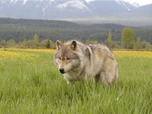 Protect Alberta Wolves from Use of Poision