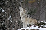 wolves, wolf, protect the wolves, sacred animals, native american religious 501c3