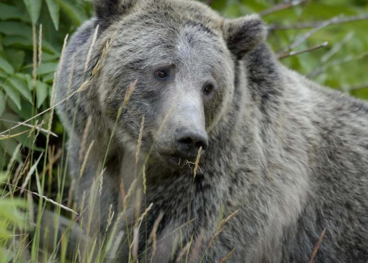 Protect Wyoming Grizzlies Grizzly, protect yellowstone wolves