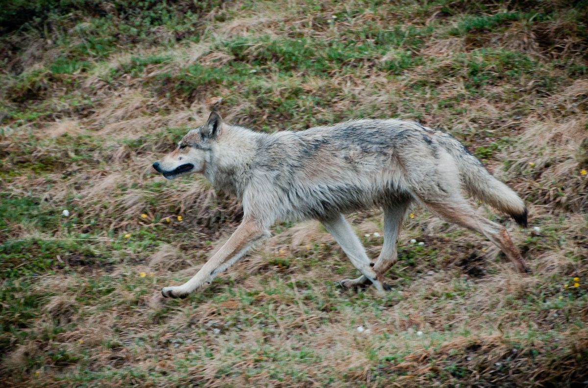 protect alaska wolves, wolves, wolf, protect the wolves,