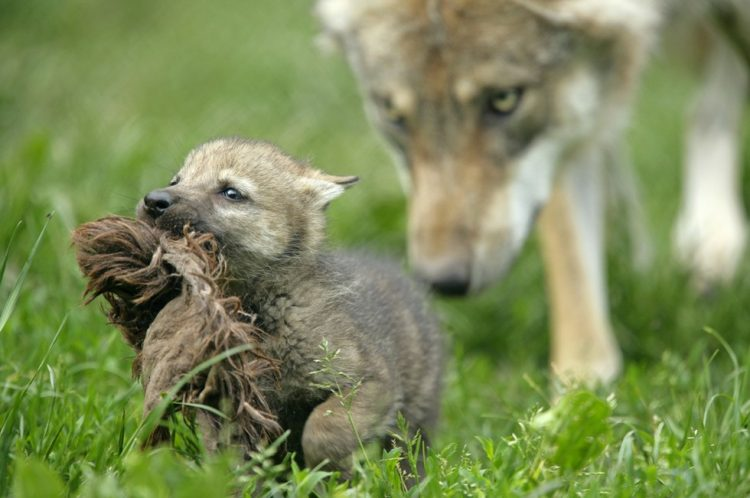 Wolves, wolf, protect the wolves