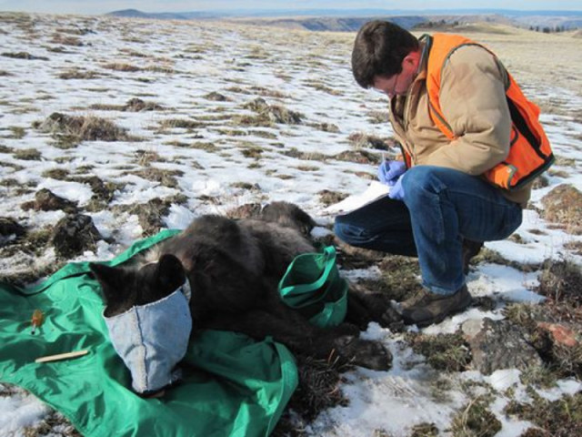Protect Oregon wolves, protect the wolves, wolves, wolf,