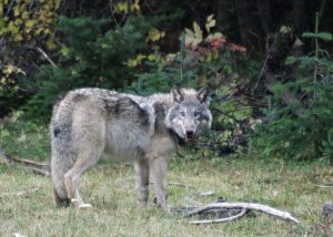 protect oregon wolves, protect the wolves, wolves wolf