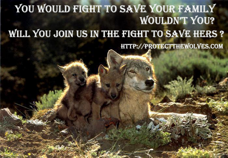 protect wyoming wolves, protect native american sacred resources, protect the wolves, wolves, wolf