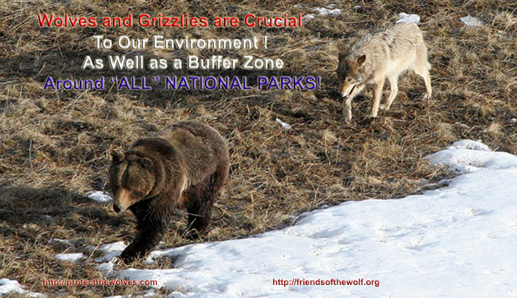 protect yellowstone wolves, wolves, wolf, protect the wolves