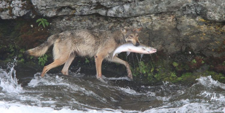 wolves and rancher fairy tales, protect the wolves, wolves in alaska