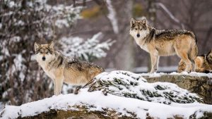 protect the wolves, mexican gray wolves, near extinct mexican gray wolves