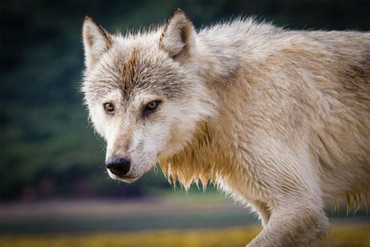 protect washington wolves, profanity peak slaughter, protect the wolves