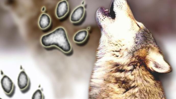 protect washington Wolves. profanity peak pack, protect the wolves