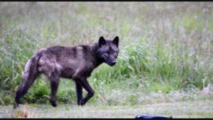 protect the wolves, profanity peak pack, WDFWs needless slaughter, Joel Kretz