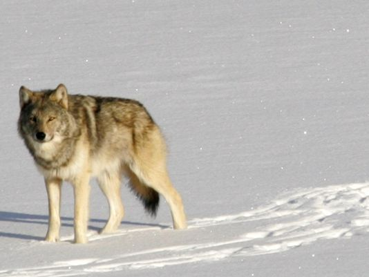isle royal wolves, protect the wolves