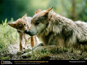 protect the wolves, protect mexican gray wolves