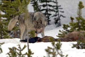 protect the wolves, sacred resource protection zone, yellowstone wolves