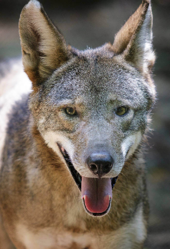 Proposal would shrink red wolves' habitat, allow people to