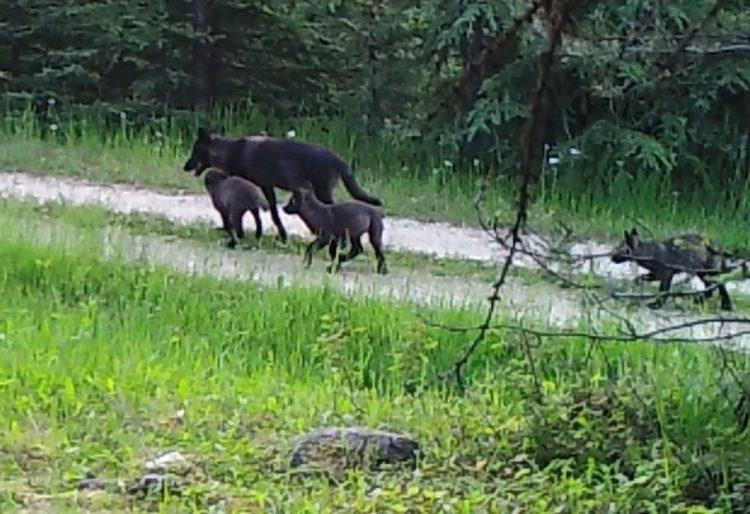 Profanity peak pack, protect the wolves,
