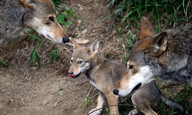 protect the wolves, protect red wolves