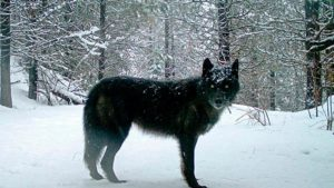 protect the wolves,  donny martorello, wdfw, Wolf advisory group