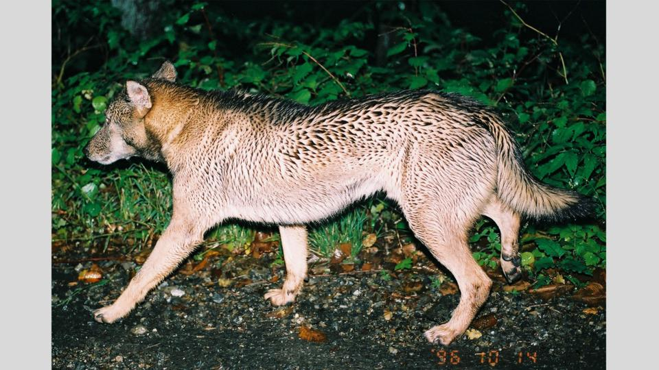 Picture of a wolf-like creature encountered by Hiroshi Yagi (Credit: Hiroshi Yagi)